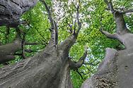 Besondere Bäume in der Stadt Zürich im Sommer an einem schönen Tag mit Quellbewölkung. Stamm der Hain- oder Hagebuche (Carpinus betulus) im Seefeld beim Chinesischen Garten.