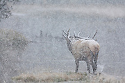 American elk or wapiti Bull elk crossing stream during a heavy snow fall