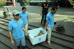 August 4, 2017 - Bandung, Java, Indonesia - 39-day Bengal tigers babies were introduced to the public at Bandung Zoo, West Java, in August 4.2017. Two Bengal tigers born in Bandung Zoo are born from a parent couple named Shilla (8) and Shahruk Khan (15) is a successful breeding process of animals, especially in the Indian country of Bengal tiger is increasingly scarce due to hunting and conflict with humans. (Credit Image: © Dasril Roszandi/NurPhoto via ZUMA Press)