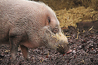 Bearded Pig, ZSL London Zoo Annual Stocktake 2015, Regents Park, London UK, 05 January 2015, Photo By Brett D. Cove