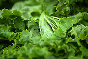 Close up selective focus photograph of some Green Leaf lettuce