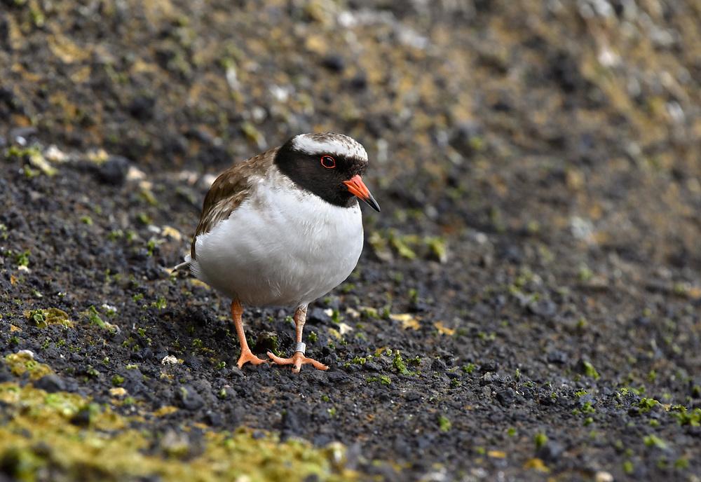 Shore Plover - Thinornis novaeseelandiae