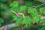 Deciduous Trees (Hardwoods)