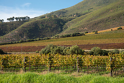 Fall-colored vineyards are seen in Stellenbosch, Western Cape on Saturday, May 16, 2020. As South Africa slowly began to ease lockdown, wine country ramained closed, along with the prohibition on alcohol sales. PHOTO: EVA-LOTTA JANSSON