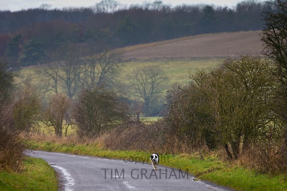 Border Collie dog  in a country lane, Oxfordshire, United Kingdom