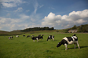 Friesian cows in a field of fresh grass at the village of Hardraw. Yorkshire, England, UK. This is a farming area where rural living in the countryside is at the centre of life in this Northern county.