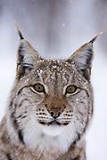 Close up portrait of a captive European Lynx, Lynx lynx, looking at the photographer.