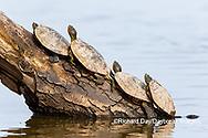 02536-00401 Red-eared Sliders (Trachemys scripta elegans) on log in wetland Marion Co. IL