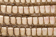 Close-up abstract of the under-belly skin pattern and texture of a Bosc's monitor or Savannah monitor lizard (Varanus exanthematicus) at Animal Investigations Long Sutton Lincolnshire