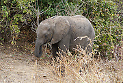 Tanzania wildlife safari Young African Bush Elephant