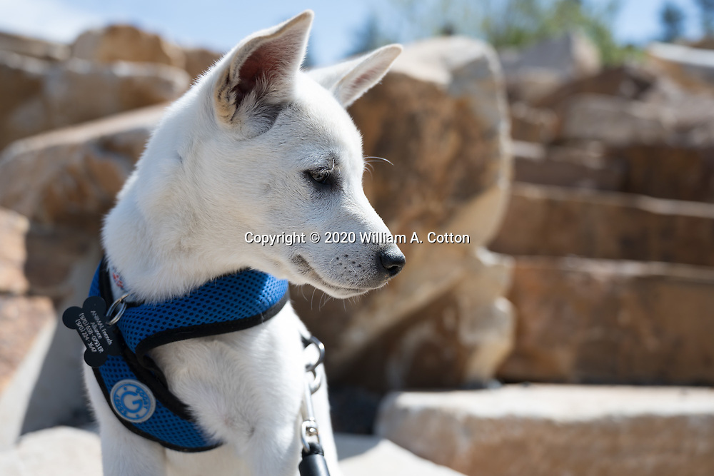 Mallows, Animal Friends Alliance foster puppy, goes for a hike at Horsetooth Reservoir, May 17, 2020.