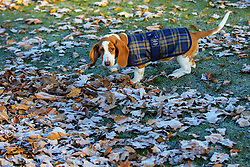 © Licensed to London News Pictures. 29/11/2016. London, UK. A dog walks past frosty leaves in Hyde Park, London on a frosty morning as temperatures in the capital drop as low as -3C on Tuesday, 29 November 2016. Photo credit: Tolga Akmen/LNP