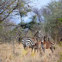 Africa, Kenya, Meru. Adult zebra with two young foals.