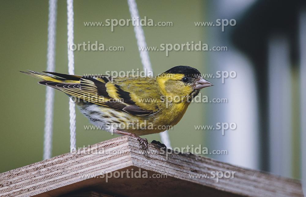 THEMENBILD - ein Erlenzeisig (Spinus spinus, Syn.: Carduelis spinus) sitzt auf einem Vogelhaus. Der kleine Vogel fällt durch sein gelbes Gefieder auf, aufgenommen am 06. Juni 2020 in Piesendorf, Oesterreich // an alder siskin (Spinus spinus, Syn.: Carduelis spinus) sits on a birdhouse. The small bird attracts attention by its yellow plumage, in Piesendorf, Austria on 2020/06/06. EXPA Pictures © 2020, PhotoCredit: EXPA/Stefanie Oberhauser