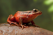 A female red-legged frog (Rana aurora). Western Oregon.