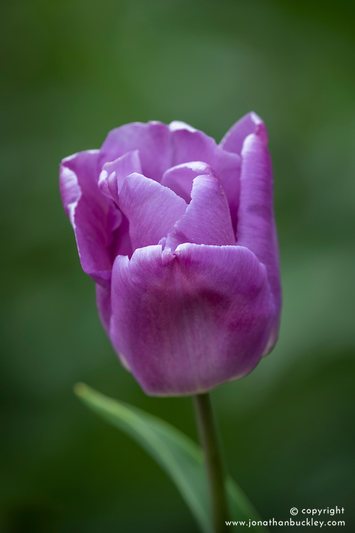 Tulipa 'Magic Lavender'