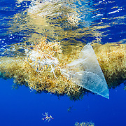 A plastic gift balloon and ribbon drift with sargassum in the Sargasso Sea, Atlantic Ocean, International Waters.