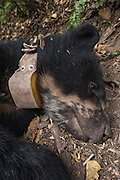 Spectacled or Andean Bear (Tremarctos ornatus)<br /> Cloud Forest and Paramo Habitat<br /> Andes. ECUADOR.  South America<br /> Range: Colombia south to Bolivia<br /> ENDANGERED (CITES 1)<br /> Spectacled bear with radio collar.