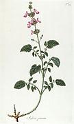 Hand painted botanical study of Salvia pimata flower anatomy from Fragmenta Botanica by Nikolaus Joseph Freiherr von Jacquin or Baron Nikolaus von Jacquin (printed in Vienna in 1809)