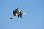 Israel, Coastal plains, White Stork (Ciconia ciconia) In flight
