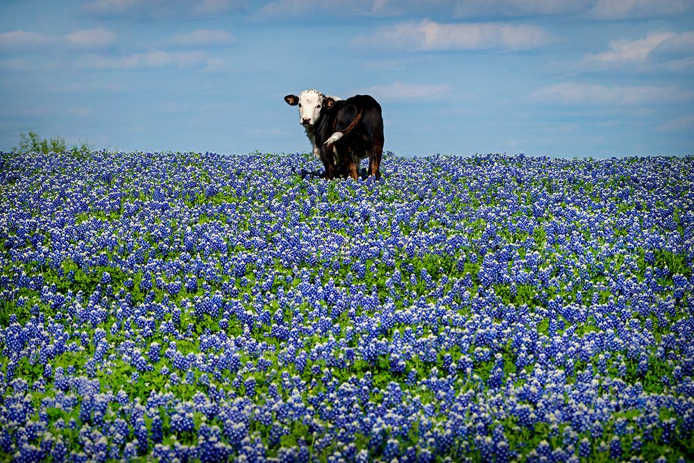 White face angus in a bluebonnet pasture, Whitehall, Texas