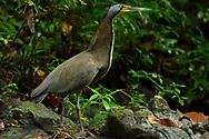 A Bare-throated Tiger-Heron (Tigrisoma mexicanum) near Punta Rio Claro National Wildlife Refuge, Costa Rica.