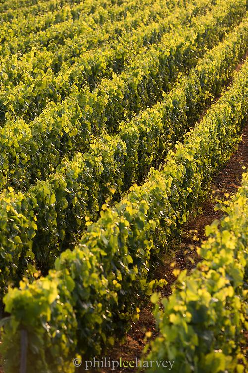 Vineyard in Le Mesnil-sur-Oger, France.