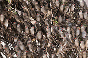 A red-billed quelea flock, Quelea quelea, perched on a tree
