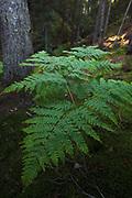 Large eagle fern also named Eastern brakenfern (Pteridium aquilinium) growing its green leaves in coastal conifer forest, Kurzeme Seacoast, Latvia, Latvia Ⓒ Davis Ulands   davisulands.com