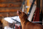 """SHOT 1/12/09 12:59:20 PM - Tanner, a four year-old male Vizsla, looks up at some gently falling snow in Crested Butte, Co. Crested Butte is a Home Rule Municipality in Gunnison County, Colorado, United States. A former coal mining town now called """"the last great Colorado ski town"""", Crested Butte is a destination for skiing, mountain biking, and a variety of other outdoor activities. The population was 1,529 at the 2000 census. The Colorado General Assembly has designated Crested Butte the wildflower capital of Colorado. The primary winter activity in Crested Butte is skiing or snowboarding at nearby Crested Butte Mountain Resort in Mount Crested Butte, Colorado. Backcountry skiing in the surrounding mountains is some of the best in Colorado. The mountain, Crested Butte, rises to 12,162 feet (3,700 m) above sea level..(Photo by Marc Piscotty / © 2009)"""