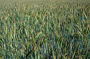 AREJK1 Close up of barley crop ripening in a field, Butley, Suffolk, England