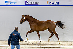 427, Nyandro JZ<br /> KWPN Hengstenkeuring 2021<br /> © Hippo Foto - Dirk Caremans<br />  05/02/2021