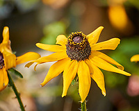 Black-eyed Susan. Image taken with a Nikon One V3 camera and 70-300 mm VR lens.