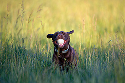 May 19, 2017 - Elkton, OREGON, U.S - On a warm sunny evening, a happy looking chocolate Labrador named ''Cocoa'' plays fetch in a pasture on a farm near Elkton in rural southwestern Oregon. (Credit Image: © Robin Loznak via ZUMA Wire)