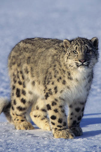 Snow Leopard (Panthera uncia) portrait.  Snow leopards inhibit the Himalaya Mountains in Asia.  Captive Animal.