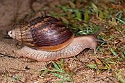 Giant African Land Snail, Lissachatina fulica, Maroantsetra, Madagascar