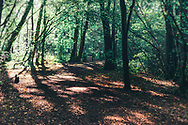 Low sunlight shining through trees in a wood in West Sussex, England, UK