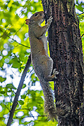 An Eastern gray squirrel (Sciurus carolinensis) licks the trunk of an elm tree where a red-breasted sapsucker has drilled holes. Sapsuckers drill neat rows of holes in trees to feed on the sap, but their work attracts other animals. Insects are also drawn to the holes and squirrels, which are omnivores, will take advantage of opportunities to feed on the protein-rich insects.