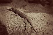 Espanola Lava Lizard (Microlophus delamonis) on Espanola Island, Galapagos Archipelago, Ecuador.