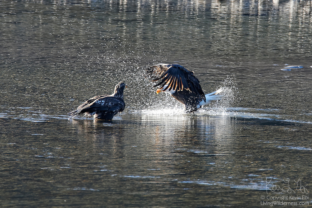 An adult bald eagle (Haliaeetus leucocephalus) splashes down in the Squamish River in an attempt to steal food from a juvenile bald eagle. Hundreds of bald eagles winter along the river near Brackendale, British Columbia, Canada to feast on spawning salmon, though eagles get most of their food by stealing it from other eagles.