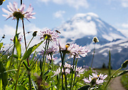 An insect hovers onto pink flowers along the Skyline Divide trail under Mount Baker (elevation 10,781 feet) in Mount Baker Wilderness, in Mount Baker-Snoqualmie National Forest, Washington, USA.