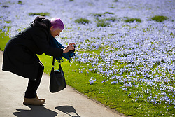 © Licensed to London News Pictures. 21/03/2017. London, UK. A visitor photographs a carpet of glory-of-the-snow flowers at the Royal Botanic Gardens Kew in afternoon sunshine.  Photo credit: Peter Macdiarmid/LNP