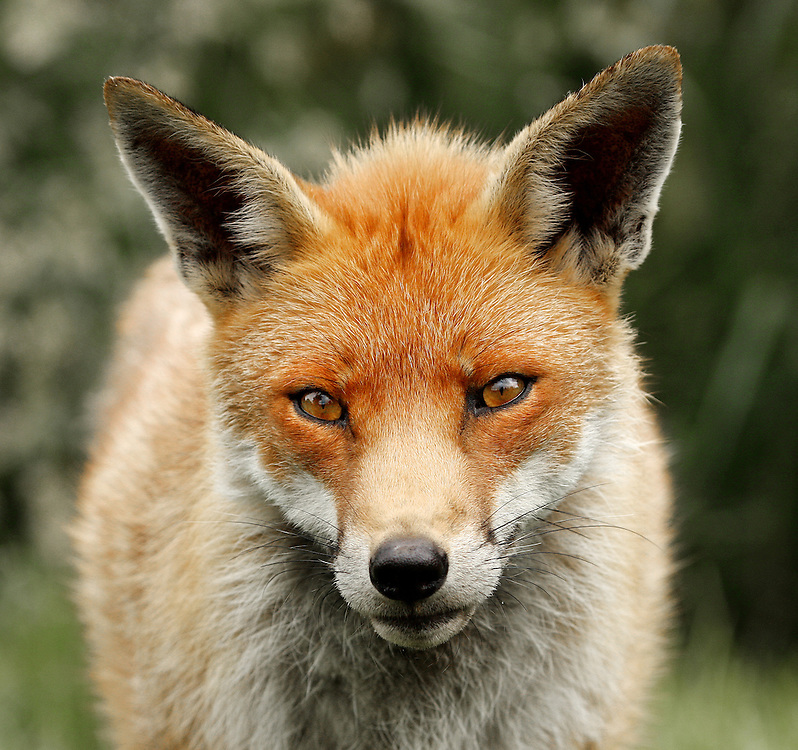 This beautiful fox is part of a wildlife collection.