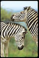 Two zebras create striking profile before rubbing necks at Hluhluwe-Umfolozi Park; KZ-Natal South Africa