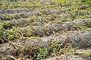 Nederland, Groesbeek, 31-7-2019Akkerbouw heeft in toenemende mate last van de langdurige, aanhoudende droogte. Een veld aardappelen is vergeeld en het loof verdroogd . De groei is er uit .Foto: Flip Franssen