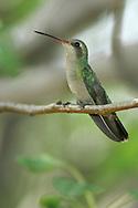 Broad-billed Hummingbird - Cynanthus latirostris - Adult female