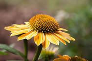 """A very lovely variety of Echinacea added to my garden this year is part of a collection called """"Cheyenne Spirit"""" which is a mix of delightful tones."""