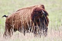 Bison Glance Tallgrass Prairie National Preserve Kansas