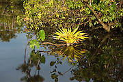 Bromeliad in flooded Igapo forest.<br /> Cocaya River. Eastern Amazon Rain Forest. Border of PERU &ECUADOR. South America