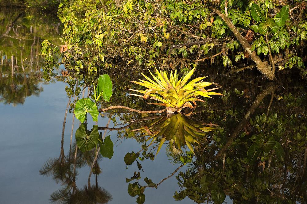 Bromeliad in flooded Igapo forest.<br /> Cocaya River. Eastern Amazon Rain Forest. Border of PERU &ECUADOR. South America